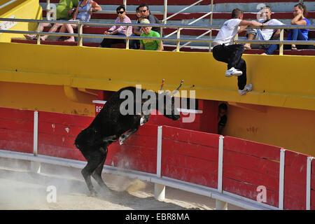 Les bovins domestiques (Bos primigenius f. taurus), corrida, bull formation chassant le torero hors de l'arène, France
