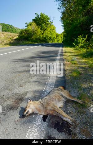 Le chacal doré (Canis aureus), exécutez sur chacal doré sur le bord de la route, la Bulgarie, l'Biosphaerenreservat Ropotamo