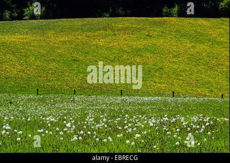 Le pissenlit officinal (Taraxacum officinale), le pissenlit prairie au printemps, l'Allemagne, en Rhénanie du Nord-Westphalie, Rhénanie-Palatinat