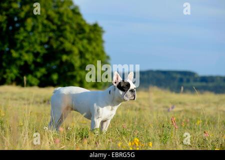 Bouledogue français (Canis lupus f. familiaris), sept mois vieux chiot dans un pré , Allemagne Banque D'Images