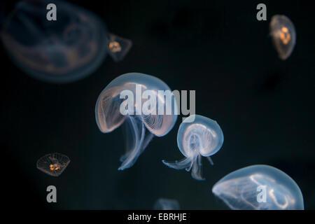 Moon jelly, méduse commune (Aurelia aurita), sous l'eau Banque D'Images