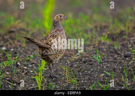 Le faisan commun, Caucase, faisan, Faisan de Colchide Phasianus colchicus (Caucase), le faisan poule sur un champ Banque D'Images