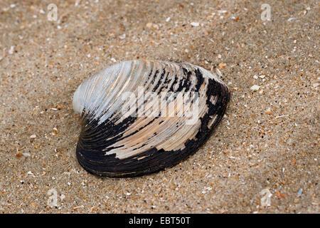Quahog nordique, l'Islandais cyprine, acajou acajou, palourdes quahog, noir praire, palourde noir (Arctica islandica, Cyprina islandica), shell sur la plage, Allemagne