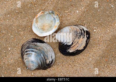 Quahog nordique, l'Islandais cyprine, acajou acajou, palourdes quahog, noir praire, palourde noir (Arctica islandica, Cyprina islandica), des coquillages sur la plage, Allemagne