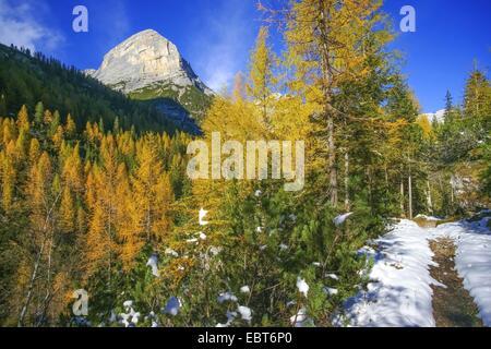 Chemin couvert de neige d'automne en forêt de mélèzes, l'Italie, le Tyrol du Sud, Ampezzo Dolomites, Cortina D Ampezzo Banque D'Images