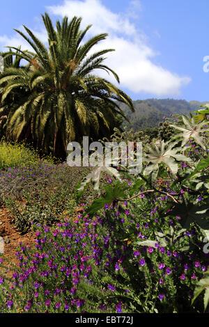 Île des Canaries (Phoenix canariensis), paysage naturel avec palmier, Canaries, La Palma Banque D'Images