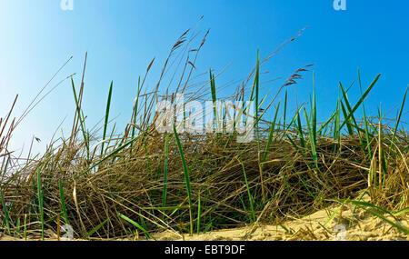 Le calamagrostis, roseau commun (Phragmites communis, Phragmites australis), sur les dunes, l'ALLEMAGNE, Basse-Saxe, Langeoog