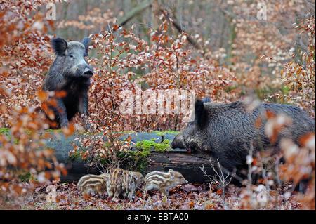 Le sanglier, le porc, le sanglier (Sus scrofa), les truies sauvages avec shoats en forêt d'automne, en Allemagne, Banque D'Images