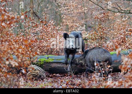 Le sanglier, le porc, le sanglier (Sus scrofa), les truies sauvages avec shoats, Allemagne, Rhénanie du Nord-Westphalie Banque D'Images