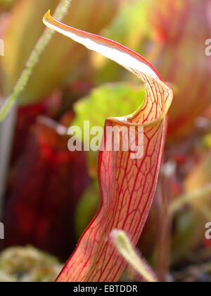 Sweet sarracénie Sarracenia rubra (feuilles),