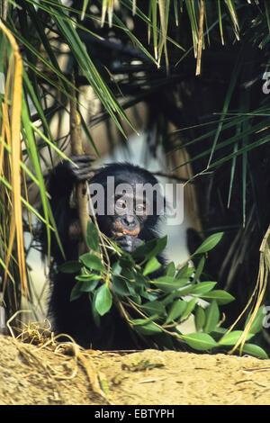 Bonobo, chimpanzé pygmée (pan paniscus), avec des petits Banque D'Images