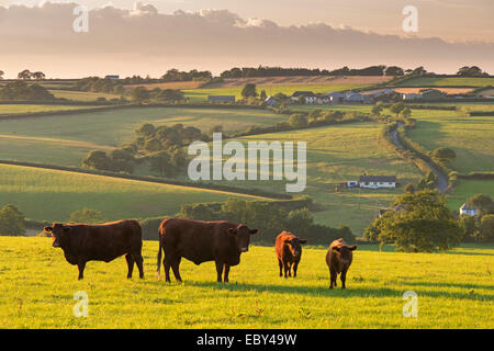 Ruby red North Devon le pâturage des troupeaux de bovins dans la campagne vallonnée, chien noir, Devon, Angleterre. Banque D'Images