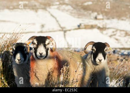 Swaledale, Yorkshire, Angleterre. Le 08 mai 2014. Moutons Swaledale en attente d'un complément alimentaire de leurs Banque D'Images