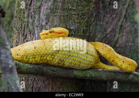 Bothriechis schlegelii Viper (cils) Perché sur une branche dans le parc national de Cahuita, Costa Rica Banque D'Images