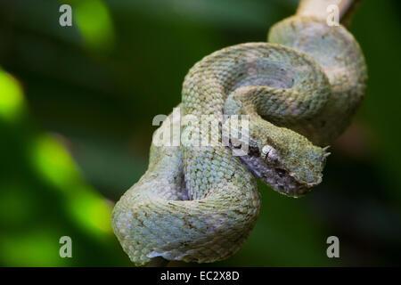 Bothriechis schlegelii Viper (cils) Perché sur une branche de Tortuguero, Costa Rica Banque D'Images
