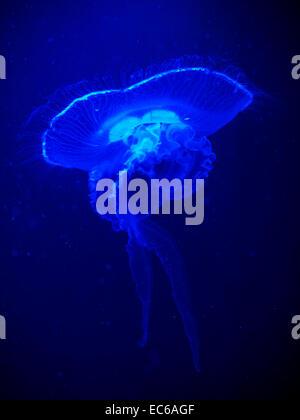 Méduse lunaire (Aurelia aurita) illuminant sous un éclairage bleu actinique