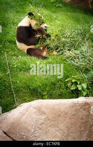 Le zoo parc beauval grand panda (Ailuropoda melanoleuca) Banque D'Images