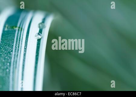Argent chinois grass Miscanthus sinensis 'Variegatus', avec des gouttelettes, close-up. Banque D'Images