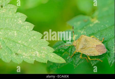 Green Shield bug (Palomena prasina), Hesse, Allemagne Banque D'Images
