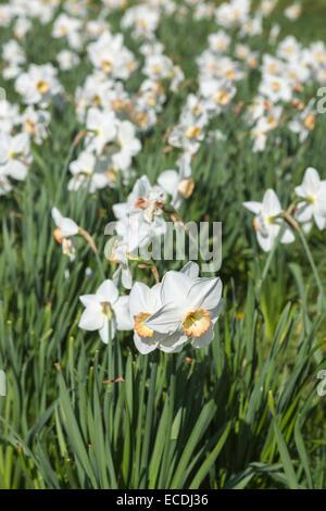 Narcissus 'La société', une grande cuvette avec la jonquille fleurs blanc crème et une tasse de crème bordés de rose, RHS Wisley Gardens