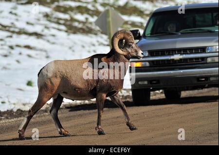 Mouflon d'un traversant la route en face de sur le trafic à venir Banque D'Images