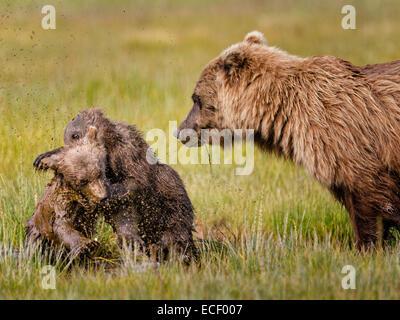 L'ours brun d'Alaska d'oursons se débattre avec eux tandis que leur mère veille sur eux à Lake Clark National Park Banque D'Images