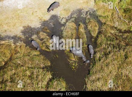 L'Hippopotame (Hippopotamus amphibius), d'animaux de reproduction dans un marais d'eau douce, vue aérienne, Delta Banque D'Images