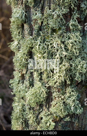 Masse de plus en plus de lichen un arbre à côté de la rivière Etherow. Peut-être une forme d'Evernia. Banque D'Images