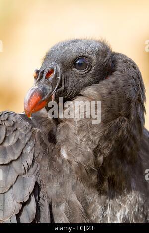France, Mainet, Loire, le zoo de Doué La Fontaine, vautour pape (Sarcoramphus papa) Banque D'Images
