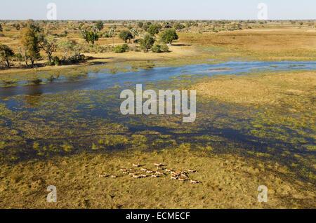 Cobes Lechwes rouges (Kobus leche leche) troupeau dans les marais d'eau douce à l'Gomoti Rivière, vue aérienne, Banque D'Images