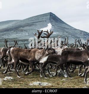 Troupeau de rennes sur une montagne Banque D'Images