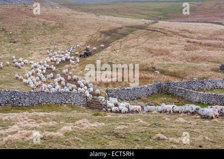 L'élevage des moutons Swaledale agriculteur sur quad dans la campagne du Yorkshire, England UK Banque D'Images