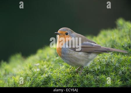 Robin ou européen Robin (Erithacus rubecula aux abords), de l'Ems, Basse-Saxe, Allemagne Banque D'Images