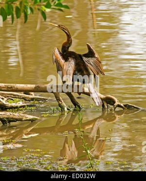 À col vert serpent d'Australasie, Anhinga novaehollandiae, on log, séchage outstretching wings & reflète dans les Banque D'Images