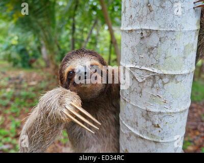 Portrait of brown-throated paresseux tridactyle sur un arbre, Panama, Amérique Centrale Banque D'Images