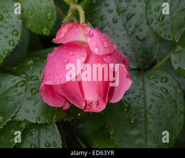 Les gouttes de pluie de Roses Banque D'Images
