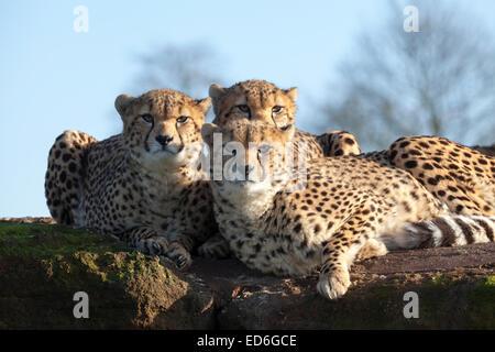 Trois guépards s'entasser, de regarder directement la caméra, par un après-midi ensoleillé au ZSL Whipsnade dans Banque D'Images
