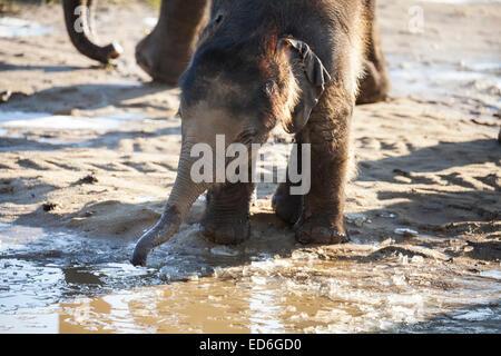 Bébé éléphant asiatique Max joue dans la boue et explore les gelées abreuvoir à ZSL Whipsnade dans Bedfordshire Banque D'Images