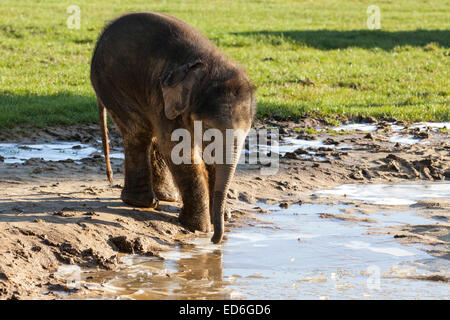 Bébé éléphant asiatique Max joue dans la boue et explore les gelées abreuvoir à Whipsnade ZLS dans Bedfordshire Banque D'Images