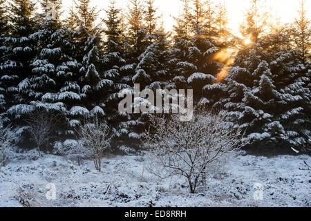 Soleil de l'après-midi dans la neige couvert d'épinettes en Ecosse Banque D'Images