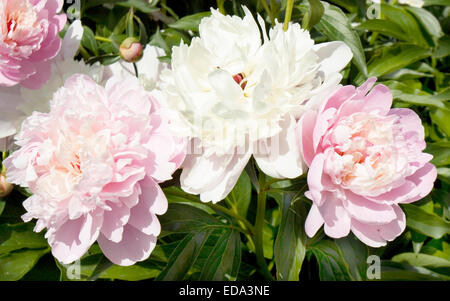 Trois grosses pivoines roses et blanches sur les feuilles vertes.