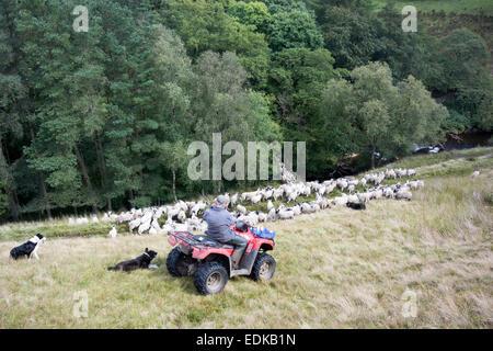 Berger sur un VTT quad gathering troupeau de moutons sur la lande, Cumbria, Royaume-Uni. Banque D'Images