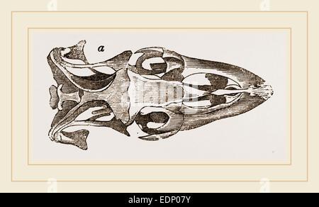 Crâne de Varan le Nil Banque D'Images