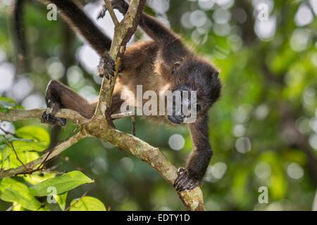 Manteau bébé singe hurleur (Alouatta palliata) escalade branche d'arbre en forêt vierge, parc national de Cahuita, Banque D'Images