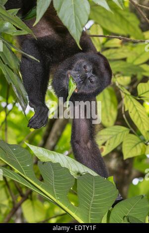 Manteau singe hurleur (Alouatta palliata) de manger les feuilles des arbres dans la forêt vierge, parc national Banque D'Images