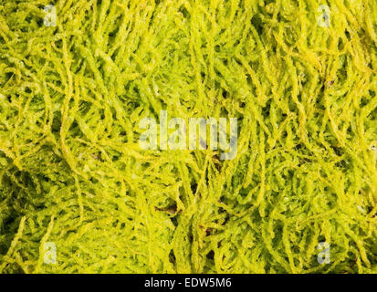 Fond d'algues dans le détail l'autre Banque D'Images