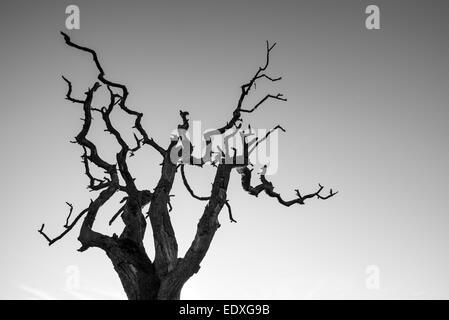Branches dénudées d'un arbre mort à la stark contre un ciel clair. Banque D'Images