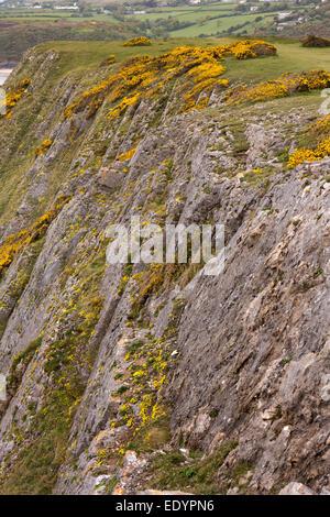 Royaume-uni, Pays de Galles, Swansea, Gower, Southgate, falaises parsemées de fleurs sauvages à Shire Combe
