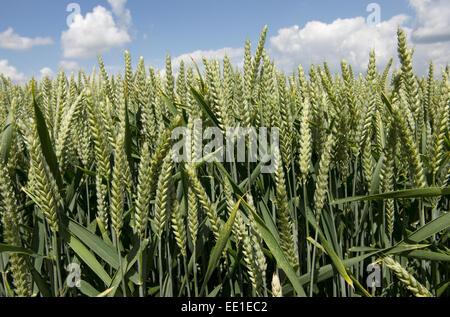 Récolte de blé en oreille près de West Woodhay, Berkshire, Angleterre, juin Banque D'Images