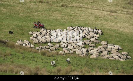 L'élevage de moutons, agriculteur sur quadbike avec de berger, Les brebis et les agneaux Swaledale rassemblement Banque D'Images